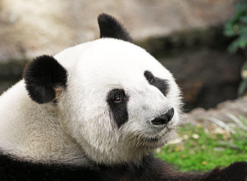 Gigante Panda Face Shot, perfil lateral, olhando para trás na câmera foto de stock royalty free