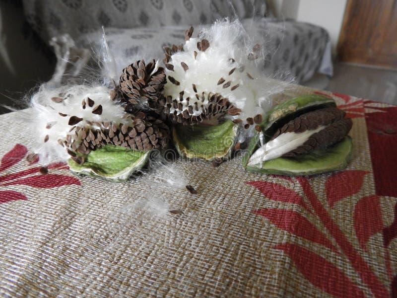 Gigantea Calotropis ή έκρηξη λοβών σπόρου λουλουδιών κορωνών και διασκορπισμένος στοκ εικόνες