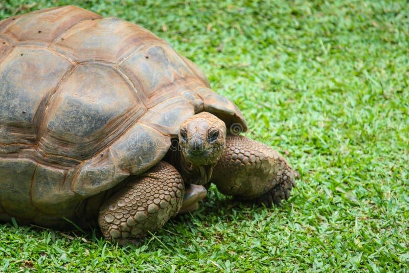 Gigantea de Aldabrachelys de la tortuga gigante de Aldabra fotos de archivo libres de regalías