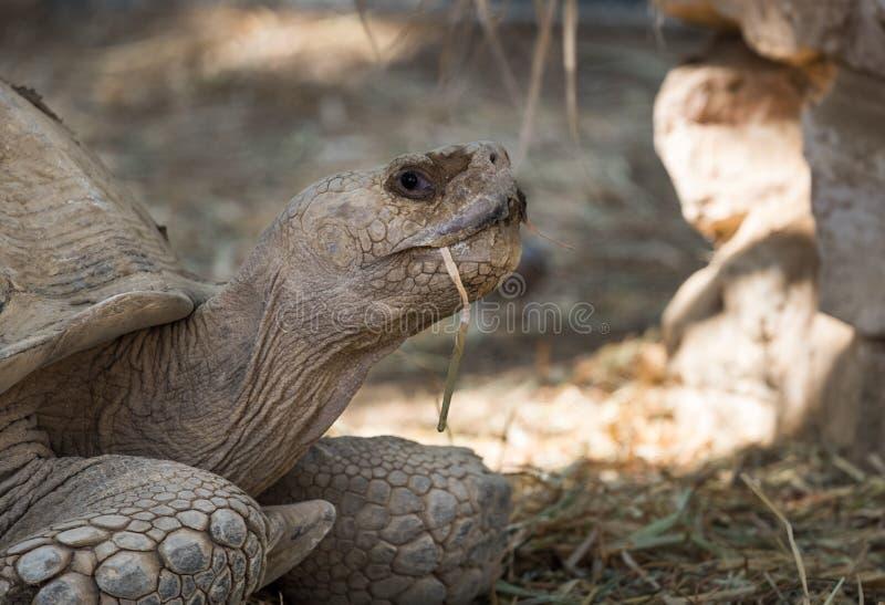 Gigantea de Aldabrachelys de la tortuga gigante de Aldabra en el parque zoológico fotos de archivo libres de regalías