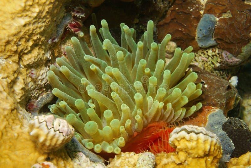 Gigantea gigante Panamá de Condylactis da anêmona da vida marinha imagens de stock royalty free