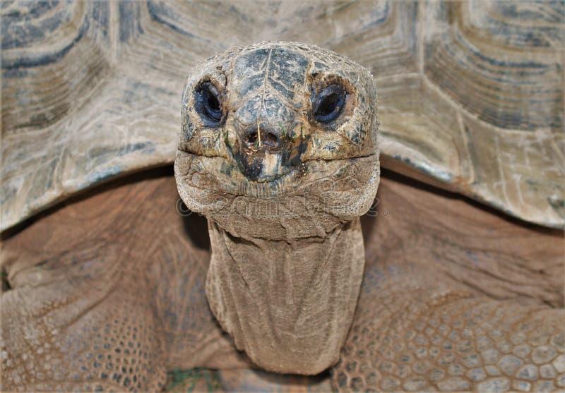 Gigantea van Aldabrachelys van de Aldabra reuzeschildpad royalty-vrije stock afbeeldingen