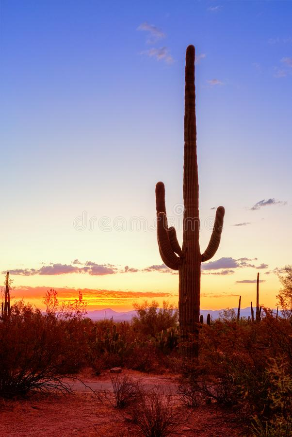 Gigantea van Carnegiea van de Saguarocactus komt tegen een avondhemel duidelijk uit, Arizona, Verenigde Staten royalty-vrije stock foto