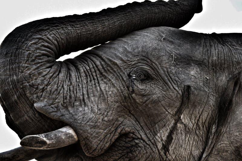 Gigantes apacibles del ` s de África imagen de archivo libre de regalías