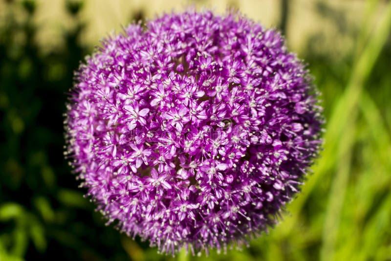 Giganteum d'allium de fleur photographie stock libre de droits