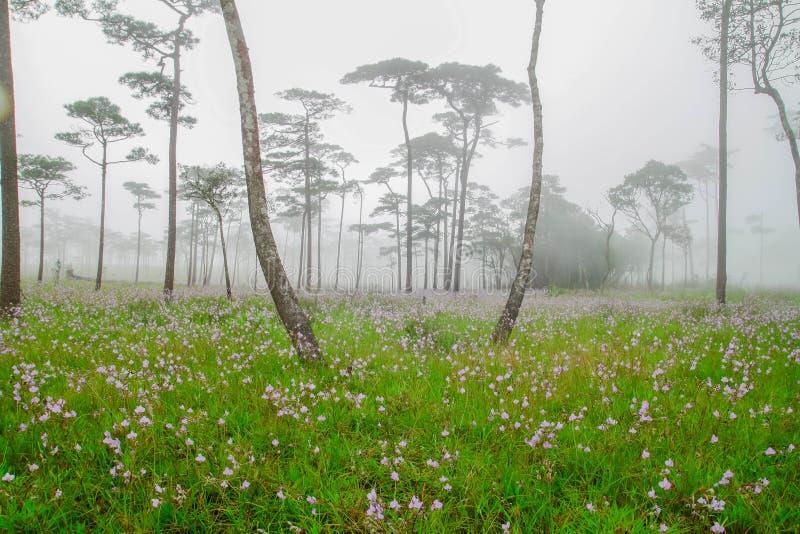 Download Giganteum De Murdannia, Fleur Pourpre Thaïlandaise Photo stock - Image du accroissement, bois: 45368626