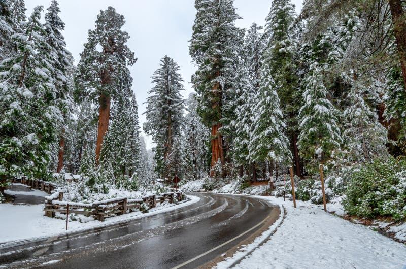 Giganteum del sequoiadendron degli alberi della sequoia gigante Strada nel parco nazionale durante l'inverno, U.S.A. della sequoi immagini stock libere da diritti