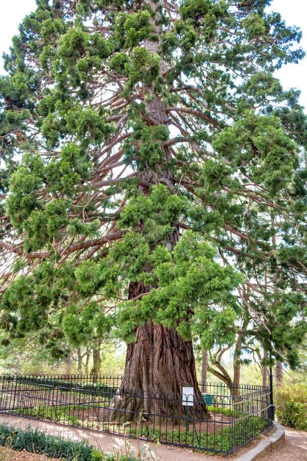 Giganteum do Sequoiadendron em Massandra, Crimeia foto de stock royalty free