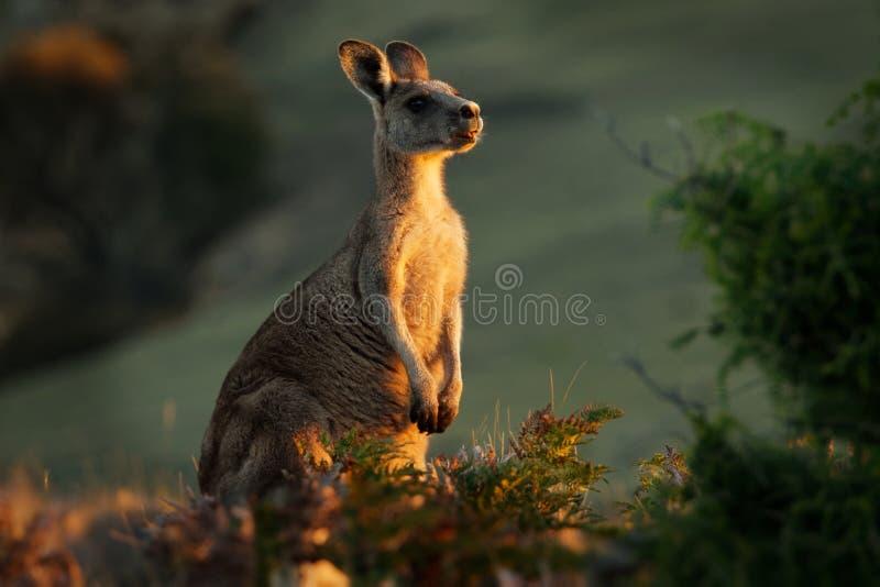 Giganteus de Macropus - Grey Kangaroo oriental en Tasmanie dans l'Australie, Maria Island, Tasmanie, se tenant sur le pré le soir photographie stock