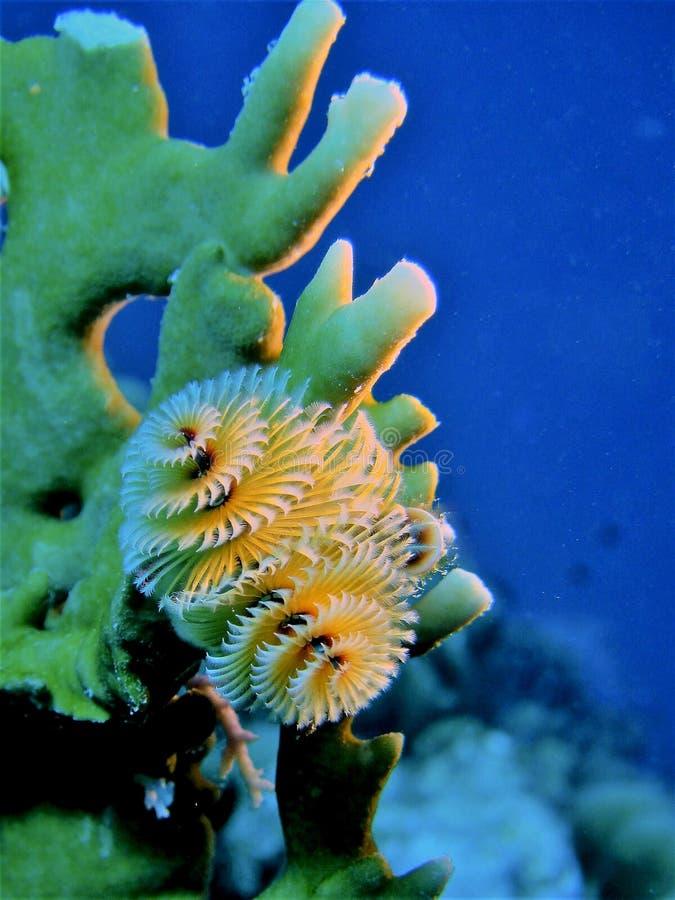 Giganteus 004-2 de Spirobranchus image stock