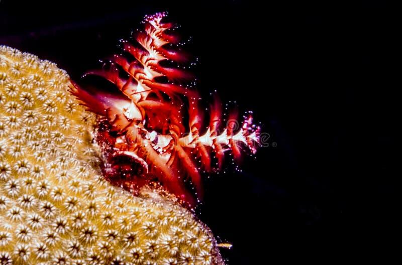 Giganteus de Spirobranchus, gusanos del árbol de navidad imágenes de archivo libres de regalías