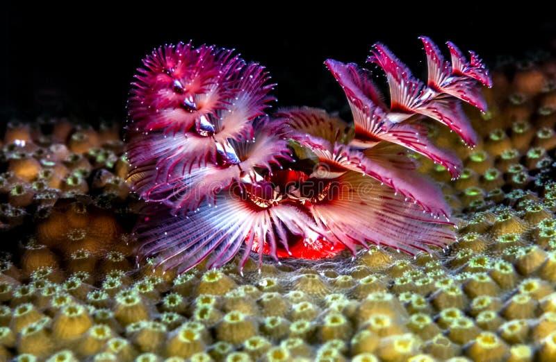Giganteus de Spirobranchus, gusanos del árbol de navidad fotos de archivo libres de regalías