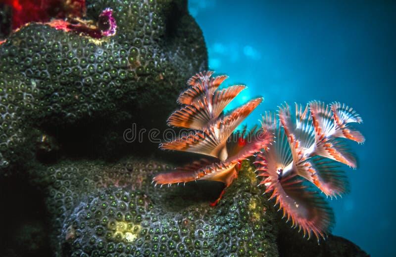 Giganteus de Spirobranchus, gusanos del árbol de navidad imagen de archivo libre de regalías