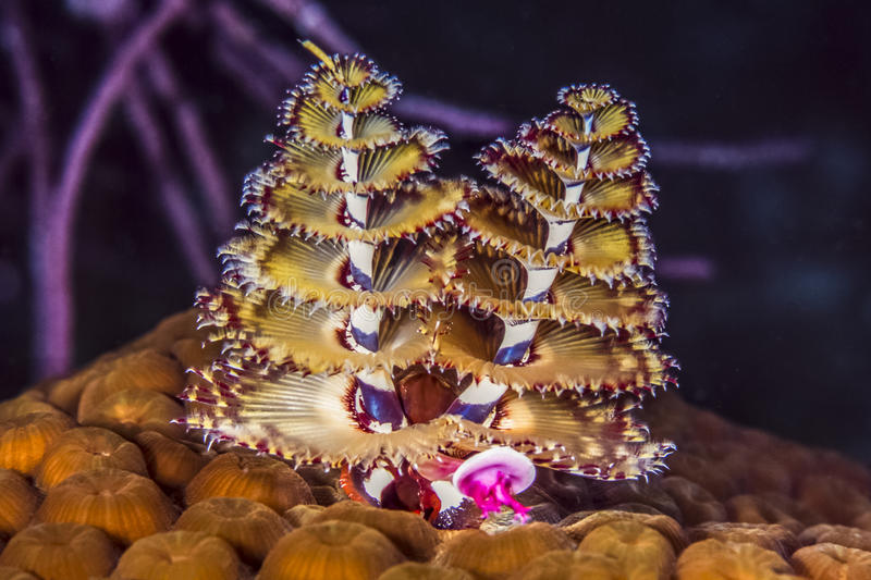 Giganteus de Spirobranchus, gusanos del árbol de navidad foto de archivo