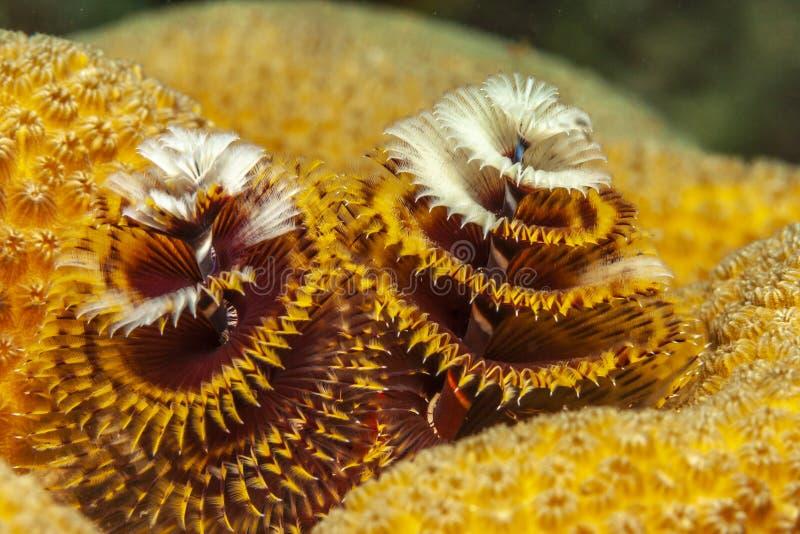 Giganteus de Spirobranchus, gusanos del árbol de navidad fotografía de archivo