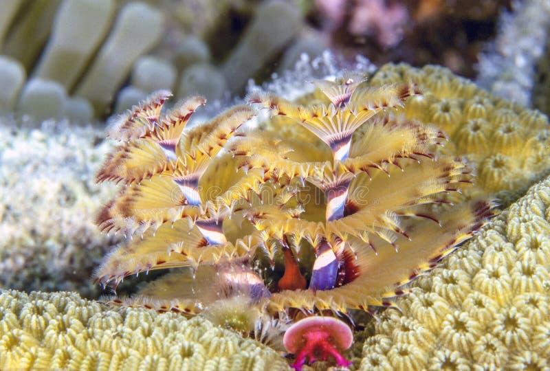 Giganteus de Spirobranchus, gusanos del ?rbol de navidad fotografía de archivo libre de regalías