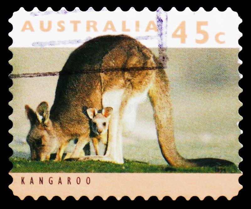 Giganteus del este de Grey Kangaroo Macropus, serie, circa 1994 fotos de archivo libres de regalías