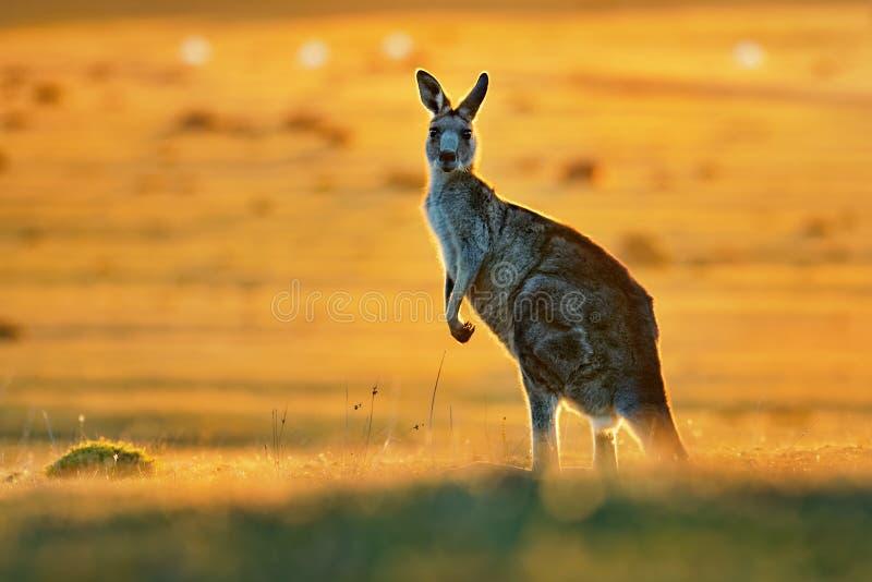 Giganteus del Macropus - Grey Kangaroo orientale fotografia stock libera da diritti