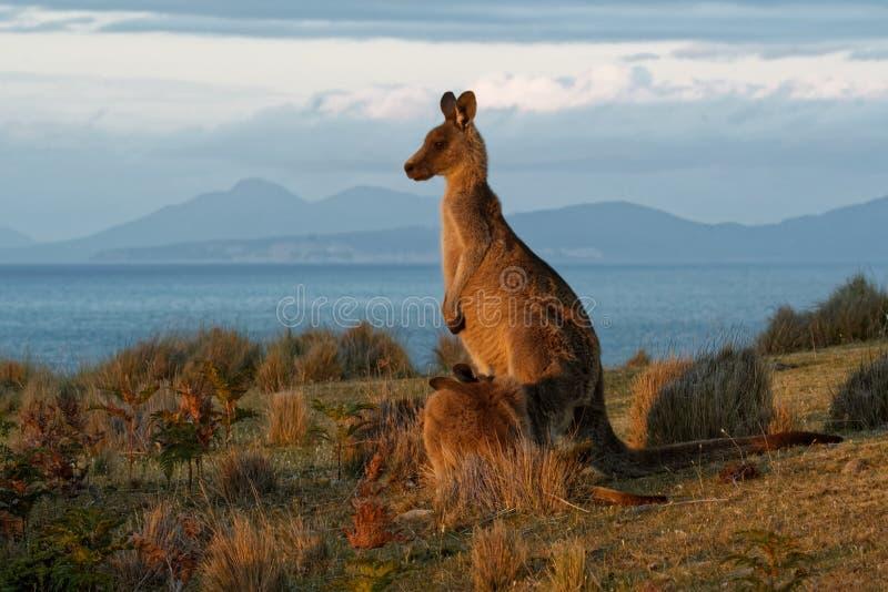 Giganteus do Macropus - Grey Kangaroo oriental em Tasmânia em Austrália, Maria Island, Tasmânia, estando no prado na noite fotos de stock royalty free