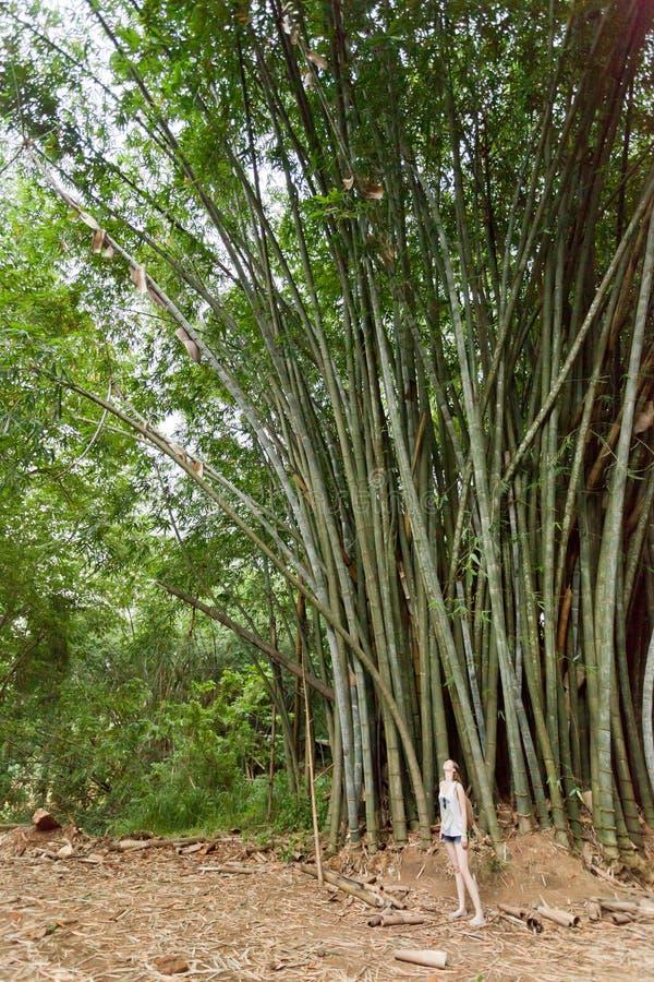 Giganti di bambù, Peradeniya, Sri Lanka fotografie stock