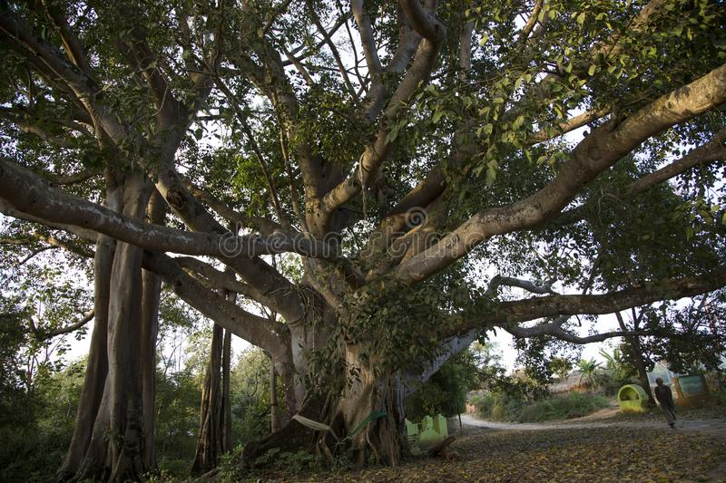Gigantic ficus tree grown naturally on the way to a temple in Kengtung. With wide spread branches. stock photography