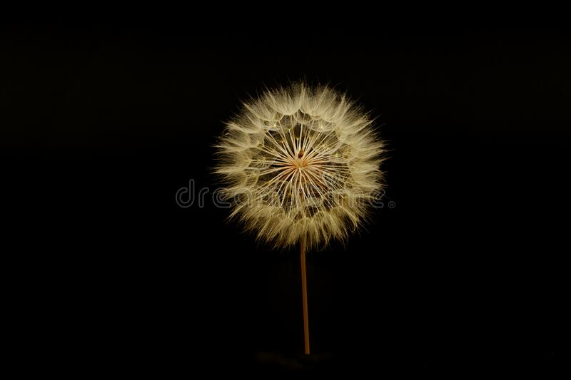 A gigantic fuzzy dandelion, with seeds attatched, forming a fuzzy sphere, againt the black background of a computer screen. A gigantic fuzzy dandelion, with royalty free stock photo