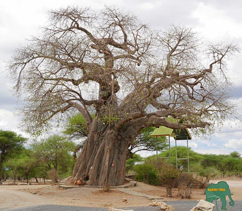 Gigantic green baobab. Giant baobab, baobab trunk close up, trees in Africa, safari in Tanzania, savannah in Africa, old trees, beautiful tree, landscape in stock image