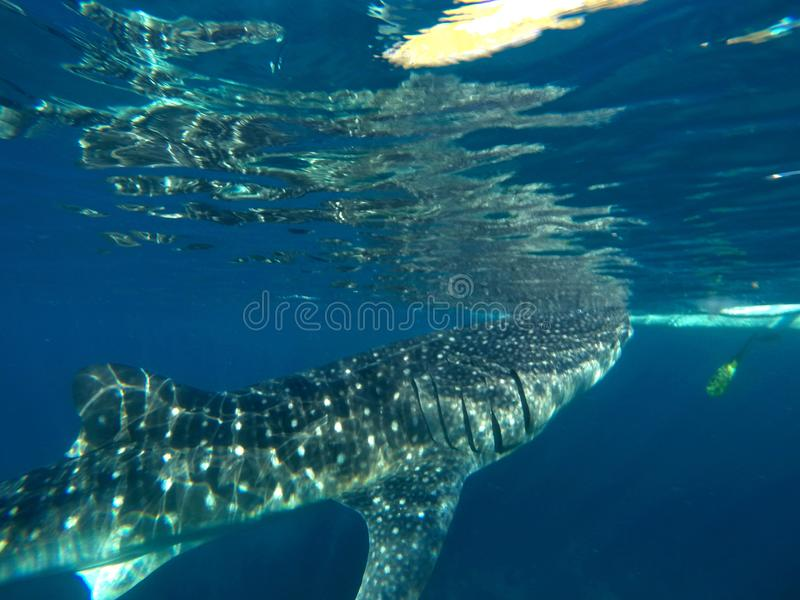 Gigantic Whale Shark Watching in Philippines, Oslob Cebu Island. Snorkeling and watching a Gigantic Whale Shark in the turquoise blue ocean in Oslob in the stock photo