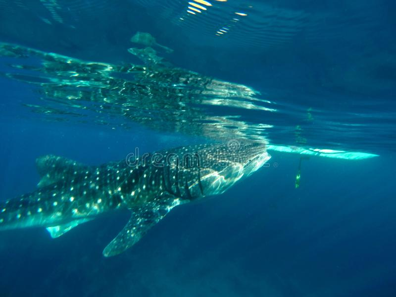 Gigantic Whale Shark Watching in Philippines, Oslob Cebu Island. Snorkeling and watching a Gigantic Whale Shark in the turquoise blue ocean in Oslob in the royalty free stock photography