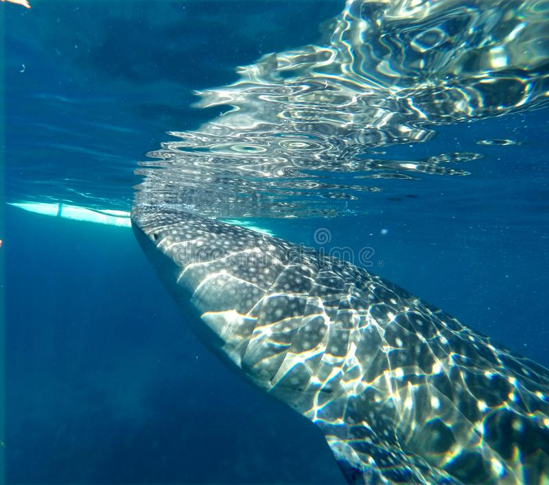 Gigantic Whale Shark Watching in Philippines, Oslob Cebu Island. Snorkeling and watching a Gigantic Whale Shark in the turquoise blue ocean in Oslob in the royalty free stock images