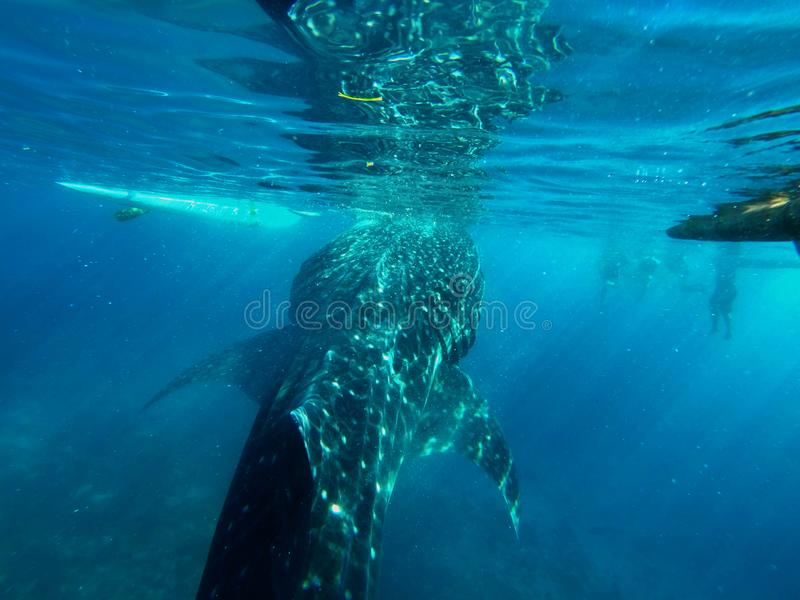 Gigantic Whale Shark Watching in Philippines, Oslob Cebu Island. Snorkeling and watching a Gigantic Whale Shark in the turquoise blue ocean in Oslob in the stock photos
