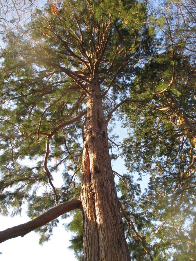 Gigantische Californische sequoiabomen in Baden-Baden Kurpark stock afbeeldingen