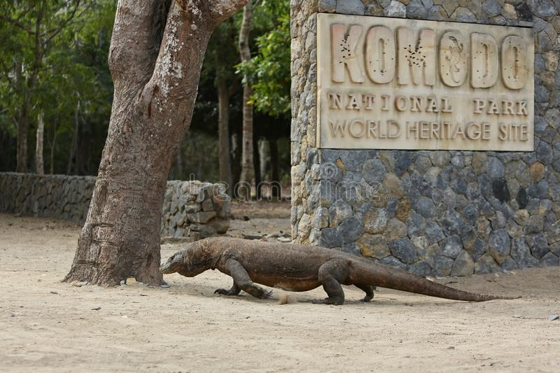 Gigantische komododraak in de mooie aardhabitat op een klein eiland in Indonesische overzees stock foto's