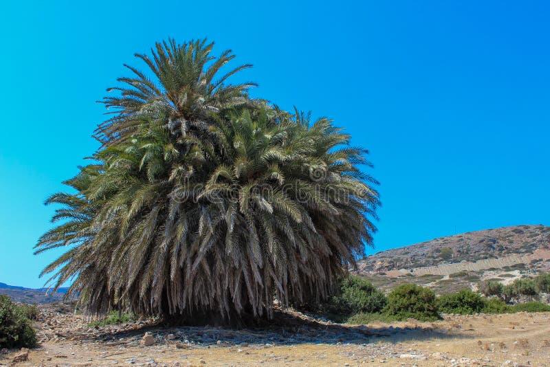 Gigantische oude palm op het Eiland van Kreta stock foto