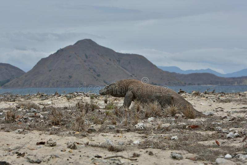 Gigantisk komododrake i den härliga naturlivsmiljön på en liten ö i det indonesiska havet royaltyfri foto