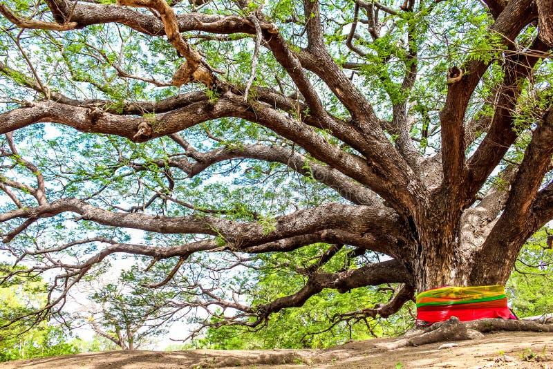 Gigantiskt mimosaregnträd med den stora filialen fotografering för bildbyråer