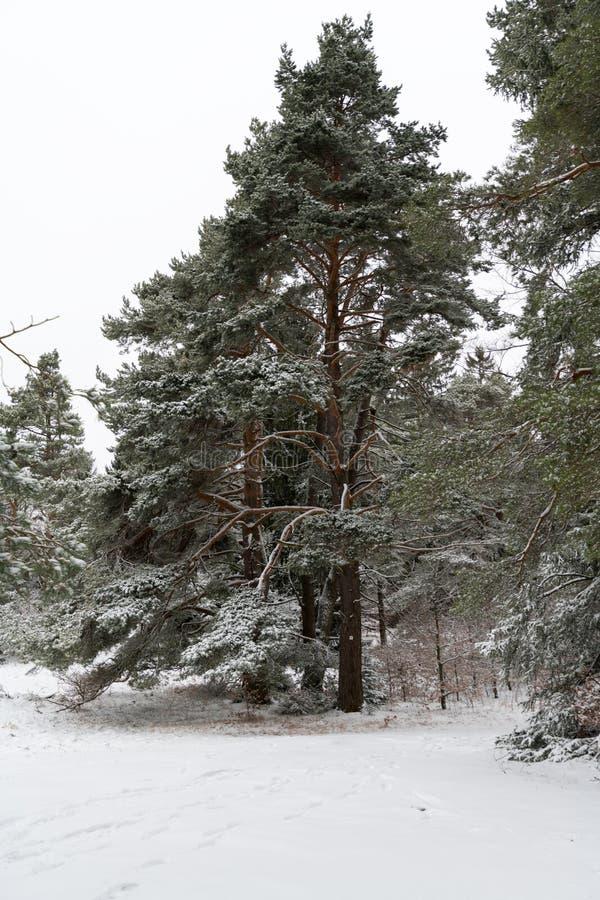 Gigantiskt sörja insnöad täckt intelligens för trädet en vintermiljö royaltyfri bild