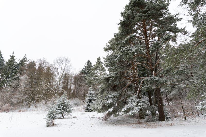Gigantiskt sörja insnöad täckt intelligens för trädet en vintermiljö arkivbild