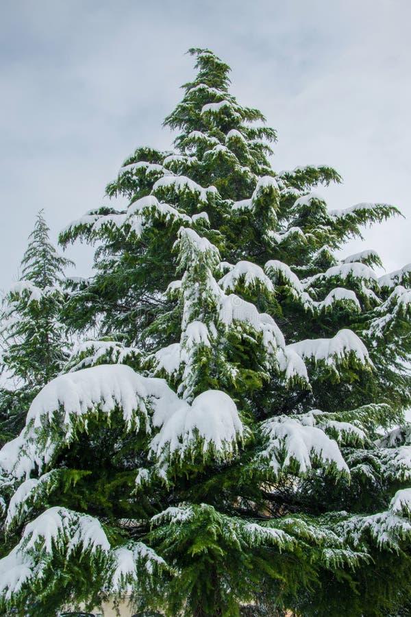 Gigantiskt sörja trädet som täckas med snö, begrepp för vinterferie arkivbild