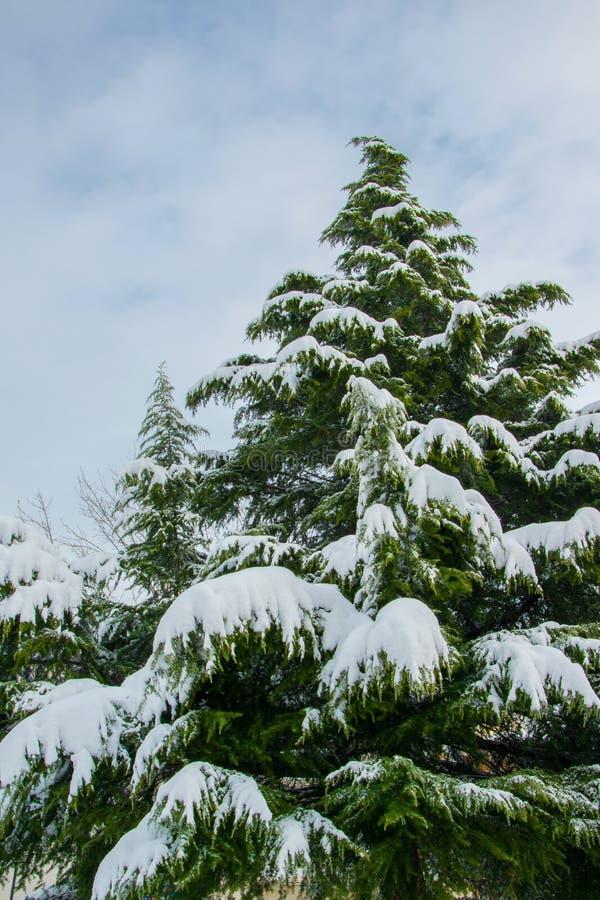 Gigantiskt sörja trädet som täckas med snö, begrepp för vinterferie royaltyfri bild