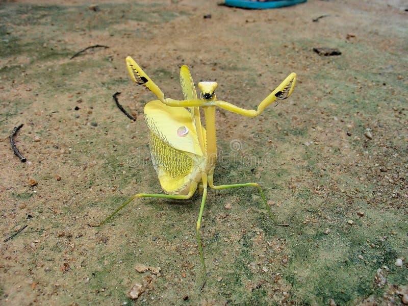 Gigantyczna Żółta Amazoninian modlenia modliszka w Pełnej Defensywnej postawie Jeden miła fotografia obrazy stock