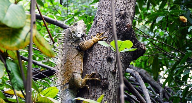 gigantyczna iguana zdjęcie stock
