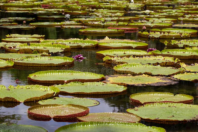 gigantyczna lily wody obrazy royalty free