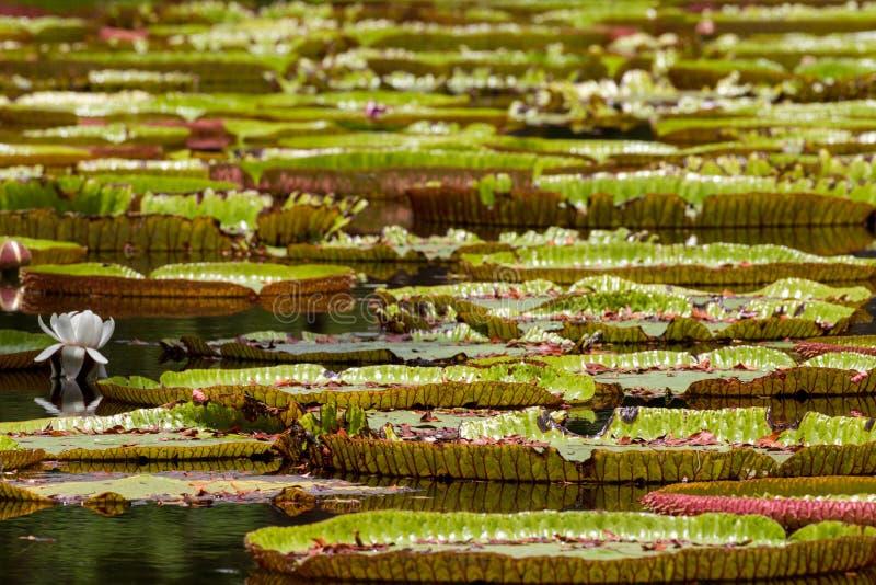 gigantyczna lily wody zdjęcia stock