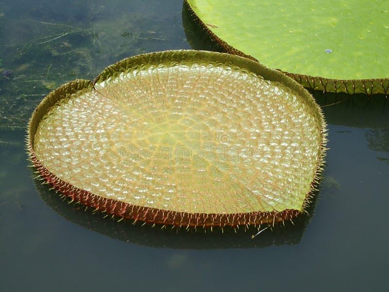 gigantyczna lily wody obrazy stock