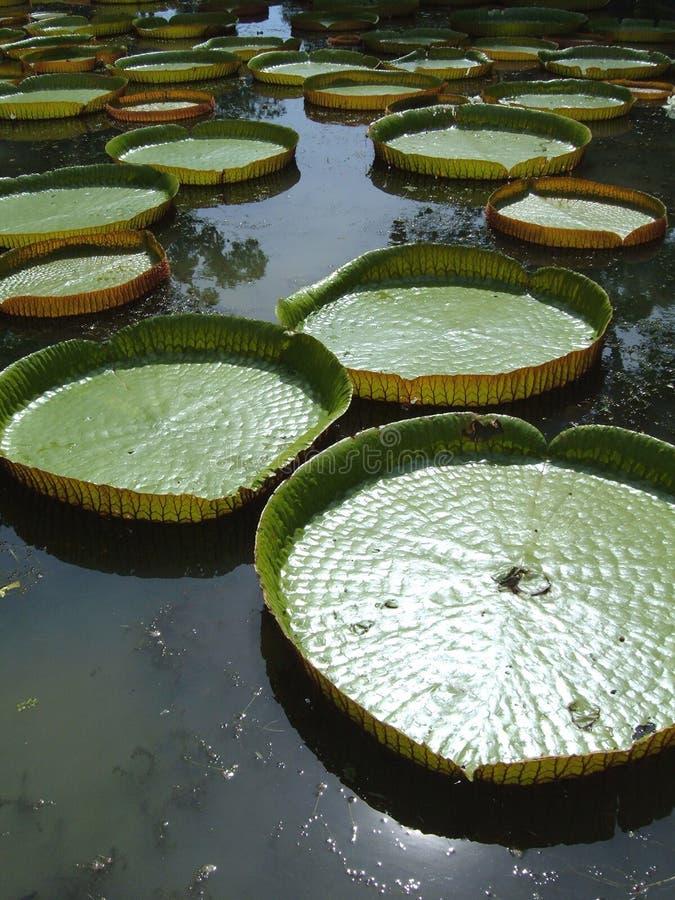 gigantyczna lily wody zdjęcie royalty free