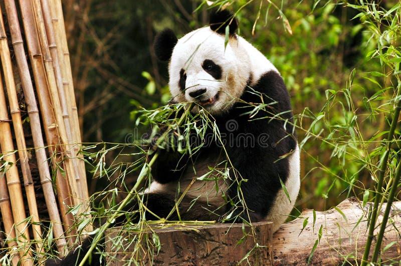 gigantyczna panda obraz royalty free