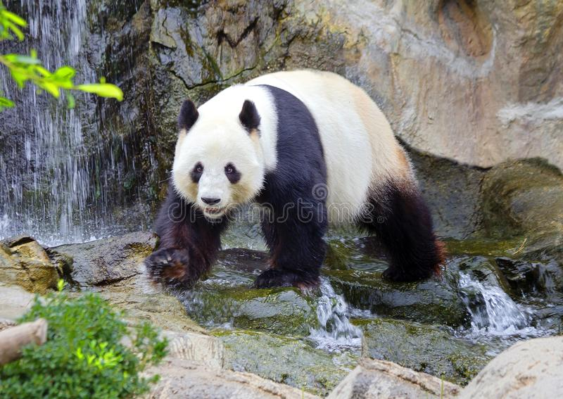 Gigantyczna panda biała panda fotografia royalty free