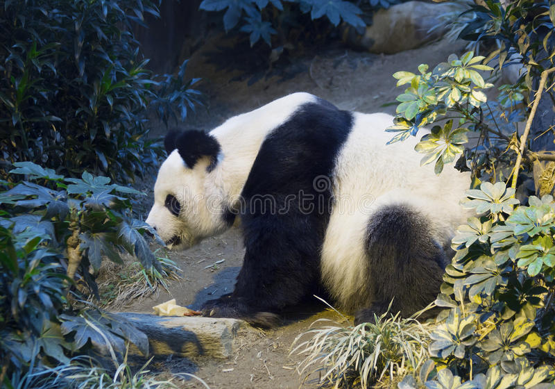Gigantyczna panda biała panda obrazy royalty free
