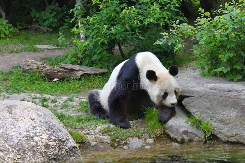 Gigantyczna panda blisko rzeki w przyrodzie zdjęcia stock